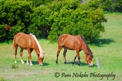 Shackleford Banks horses. They are also known as Banker Ponies, but they are not ponies.