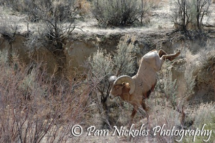 Bighorn ram jumping down to the creek