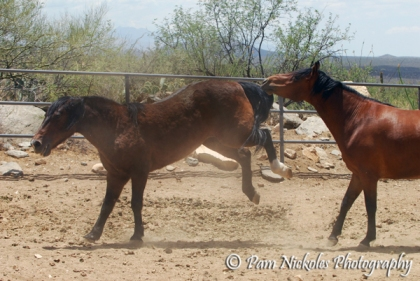 Samantha, Michael's Mustang mare is still the boss and gives young Tomas a bit of a reminder that she's still got it.