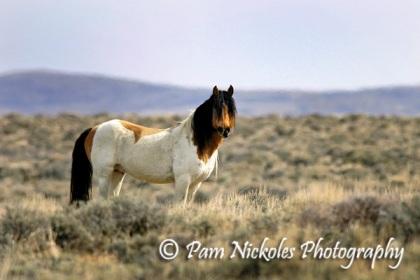 El Mariachi in the wild - White Mountain HMA Wyoming