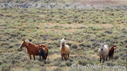 Corona stands in the middle - there is one other mare and foal in his band. A beautiful pinto mare and her injured foal.