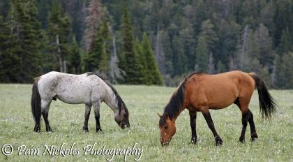 Flint and Shaman - bachelor stallions