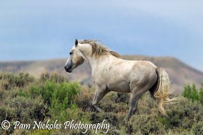 Band stallion Cosmo