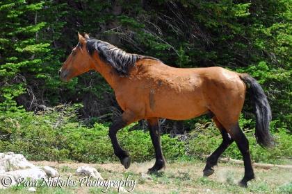 The gentleman stallion Shaman