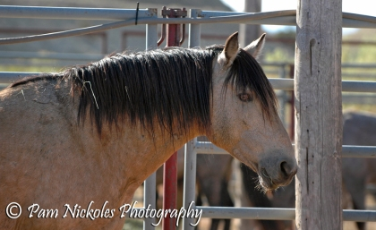 Band stallion Chino - he has gorgeous amber eyes and he's a rare color among the Pryor horses. A beautiful buckskin.