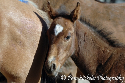 Pryor foal in holding corral - September, 2009