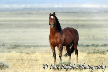 Band stallion Nub Ear from the Fifteen Mile HMA - September, 2009