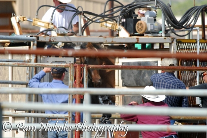Processing a horse through the squeeze chute