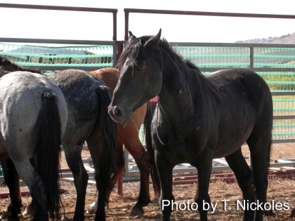 Horses tagged for adoption