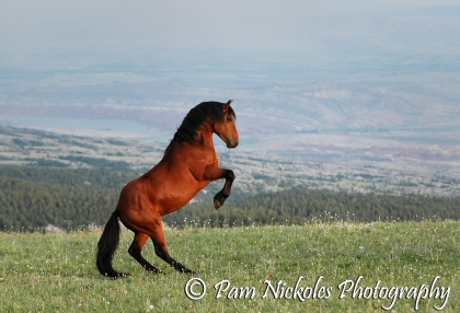 Band stallion Duke - 2008
