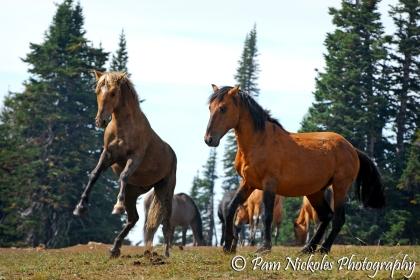 A disagreement between stallions - Bolder and Shaman