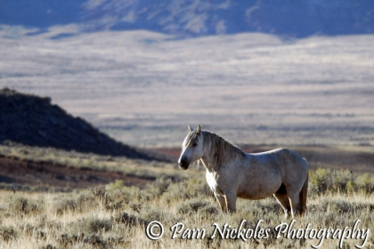 The big gray stallion Bridger