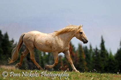 Wild stallion Cloud of the Pryor Mountains