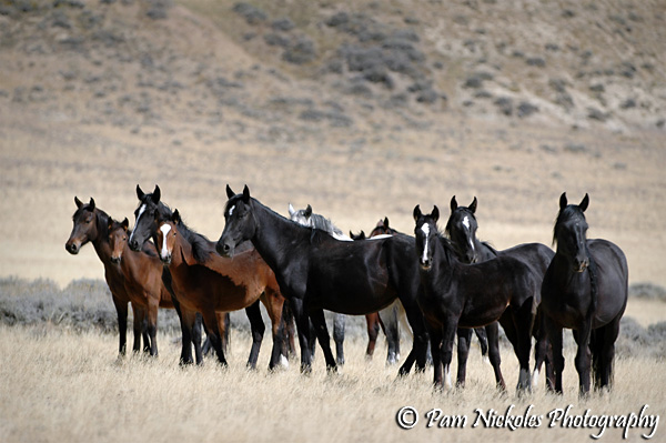 wild horse roundup In colorado and most states in the us, there are still a number of wild horse herds maintained mostly on blm landwild horses have virtually no predators and can.