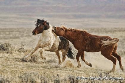 Here the sorrel stallion grabs a mouthful of Medicine Boy's mane.