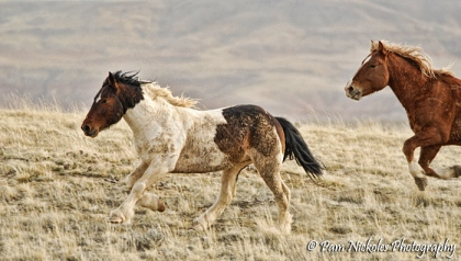 With a little chunk of mane left behind, Medicine Boy takes off as fast as he approached.