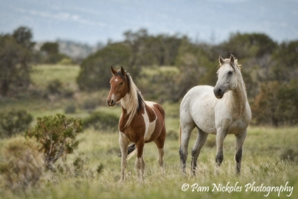Band stallion Seven and his pinto mare.