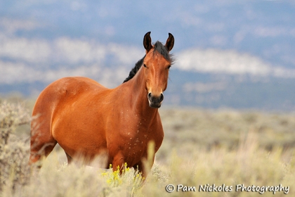 Love the tipped-in ears. Many Piceance horses have these.